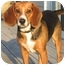 Photo 2 - Beagle Mix Dog for adoption in Blairstown, New Jersey - Duke - Adopted!
