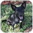 Photo 2 - Terrier (Unknown Type, Small)/Chihuahua Mix Dog for adoption in Pembroke pInes, Florida - Armani