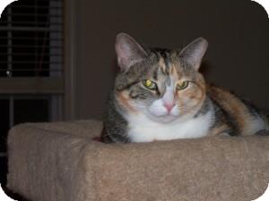 Domestic Mediumhair Cat for adoption in Alpharetta, Georgia - Prissy