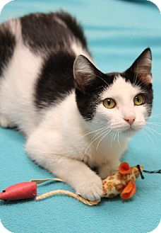 Domestic Shorthair Cat for adoption in Chicago, Illinois - Holly