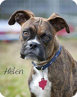 Boxer/Boston Terrier Mix Dog for adoption in Houston, Texas - Henry & Helen
