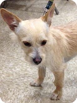 Terrier (Unknown Type, Small)/Fox Terrier (Wirehaired) Mix Dog for adoption in Houston, Texas - Russell