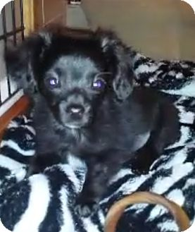 Chihuahua Mix Puppy for adoption in San Diego, California - Onyx