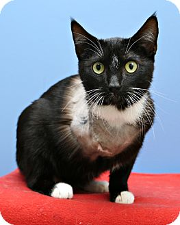 Domestic Shorthair Cat for adoption in Bellingham, Washington - Carlos