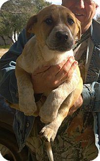 St. Bernard/Australian Cattle Dog Mix Puppy for adoption in Ranger, Texas - Chase
