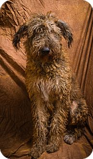 Airedale Terrier/Poodle (Standard) Mix Dog for adoption in Anna, Illinois - BAILEY