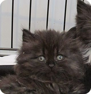 Domestic Longhair Kitten for adoption in Marseilles, Illinois - Pansy