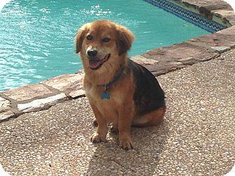 Collie/Corgi Mix Dog for adoption in San Antonio, Texas - Bear
