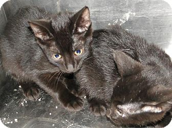 Domestic Shorthair Cat for adoption in Brooksville, Florida - 1023619