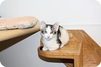 Domestic Shorthair Kitten for adoption in Chicago, Illinois - Tywin