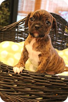 Boston Terrier/Dachshund Mix Puppy for adoption in Hagerstown, Maryland - Bugsy