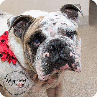 English Bulldog Dog for adoption in Troy, Ohio - Rosie-ADOPTED