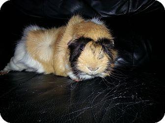 Guinea Pig for adoption in Harleysville, Pennsylvania - Andy
