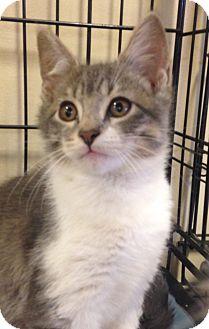 American Shorthair Kitten for adoption in Houston, Texas - Sinclair