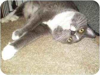 Domestic Shorthair Cat for adoption in Pasadena, California - Sassie