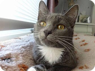 Domestic Shorthair Cat for adoption in Colmar, Pennsylvania - Lizzie -Adoption Pending!