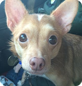 Chihuahua Mix Dog for adoption in Oak Ridge, New Jersey - Viola