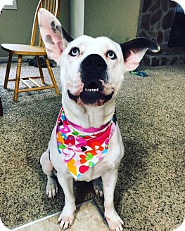 Great Dane/American Bulldog Mix Dog for adoption in Woodstock, Georgia - Millie (courtesy)