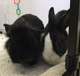 Dutch Mix for adoption in Waynesboro, Virginia - Spike and Lulu