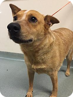 Australian Cattle Dog Dog for adoption in Westminster, California - Chewy