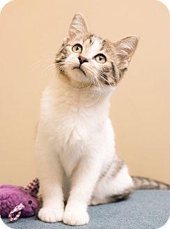 Domestic Shorthair Kitten for adoption in Chicago, Illinois - Frisky
