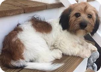 Bichon Frise/Dachshund Mix Puppy for adoption in Richmond, Virginia - Falkor