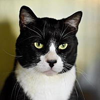 Adopt A Pet :: Truman Tux - Denver, CO
