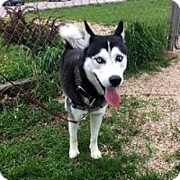Siberian Husky Mix Dog for adoption in Janesville, Wisconsin - Apollo
