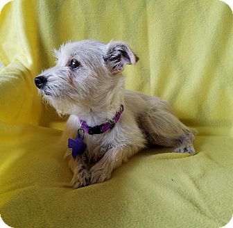 Terrier (Unknown Type, Small) Mix Puppy for adoption in Buffalo, New York - Mavie