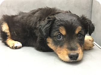 Shepherd (Unknown Type)/Rottweiler Mix Puppy for adoption in Los Angeles, California - Lando