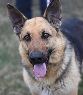 German Shepherd Dog Dog for adoption in Dodson, Montana - Rayna