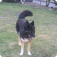 Adopt A Pet :: Duke - Burbank, CA