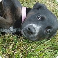 Adopt A Pet :: Sheera - Hawk Point, MO