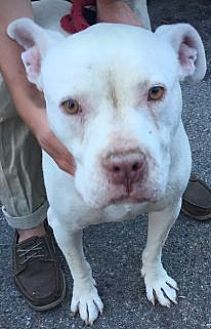 American Bulldog Mix Dog for adoption in Beverly Hills, California - Roger