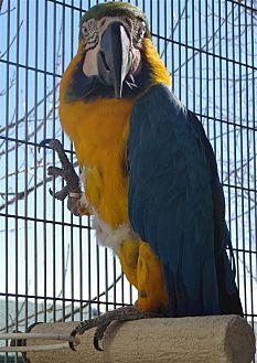 Macaw for adoption in Elizabeth, Colorado - Paco