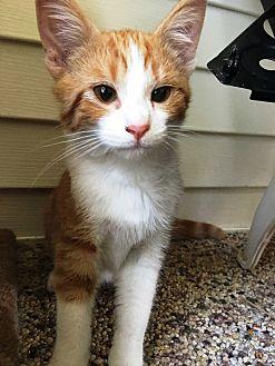 Domestic Shorthair Kitten for adoption in Edinburg, Pennsylvania - Wilbur
