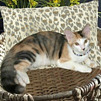 Adopt A Pet :: Cali The Torbie - Sugar Land, TX