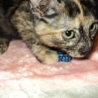 Adopt A Pet :: LYDIA - Olivette, MO