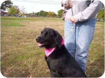 Flat-Coated Retriever Mix Dog for adoption in Cape May Court House, New Jersey - Roxy