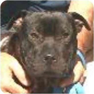 Shar Pei/American Pit Bull Terrier Mix Dog for adoption in Berkeley, California - Bola