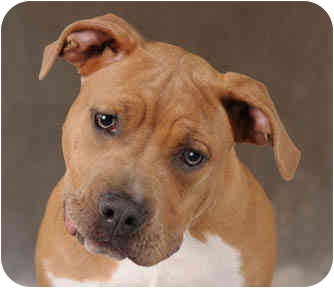 Bullmastiff/American Staffordshire Terrier Mix Dog for adoption in Chicago, Illinois - Beauty