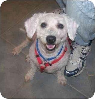 Bichon Frise Dog for adoption in Oak Ridge, New Jersey - Pierre