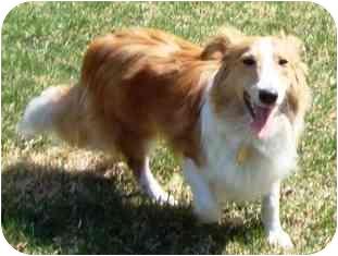 Sheltie, Shetland Sheepdog/Bichon Frise Mix Dog for adoption in Osseo, Minnesota - Beacon