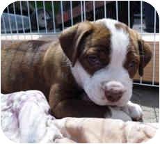 American Pit Bull Terrier Mix Puppy for adoption in Framingham, Massachusetts - Apple