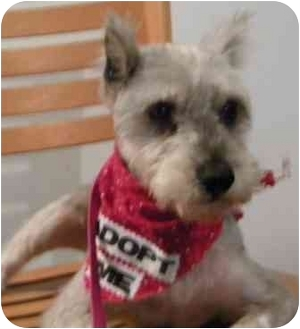 Miniature Schnauzer Mix Dog for adoption in PRINCETON, New Jersey - Princess
