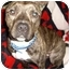 Photo 2 - American Staffordshire Terrier Mix Dog for adoption in Seattle, Washington - Romeo