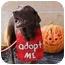 Photo 3 - Labrador Retriever Dog for adoption in Evergreen, Colorado - Zion