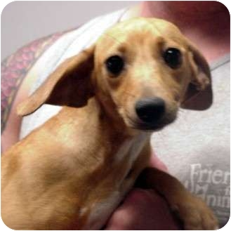 Dachshund Mix Dog for adoption in Manassas, Virginia - Rover