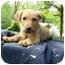 Photo 1 - German Shepherd Dog/Labrador Retriever Mix Puppy for adoption in Bel Air, Maryland - Mickey