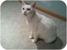 Domestic Mediumhair Cat for adoption in Oak Lawn, Illinois - Danstan